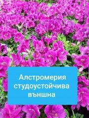 Алстромерия-Alstroemeria
