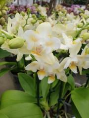 Орхидея Мултифлора  Фаленопсис Пелорик
