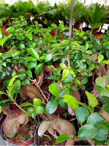 Бонсай Ficus ginseng