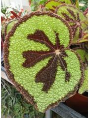 Бегония  Begonia Masoniana
