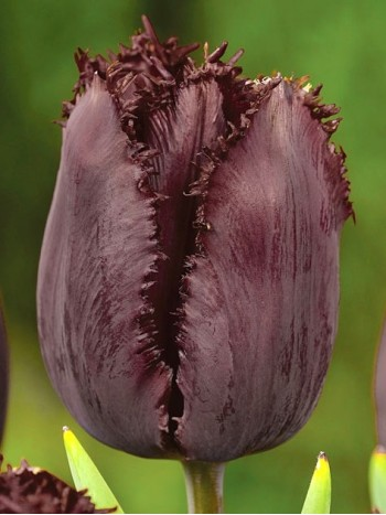Лале (Tulipa 'Black Jewel') T44