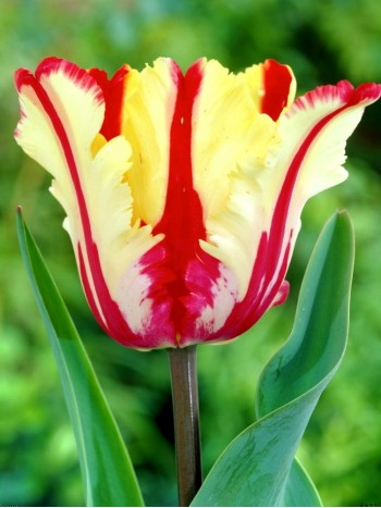 Лале (Tulipa 'Flaming Parrot') T24