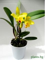 Катлея  (Cattleya) - PR3660