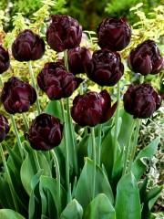 Лале (Tulipa 'Black Hero') T66