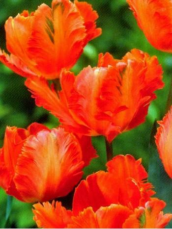 Лале (Tulipa ''Flower Power') T21
